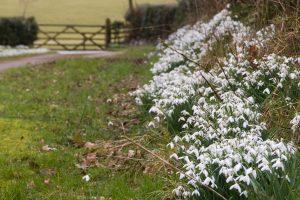 Lancashire snowdrops