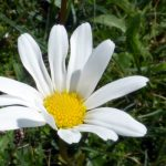Daisy in the sun.