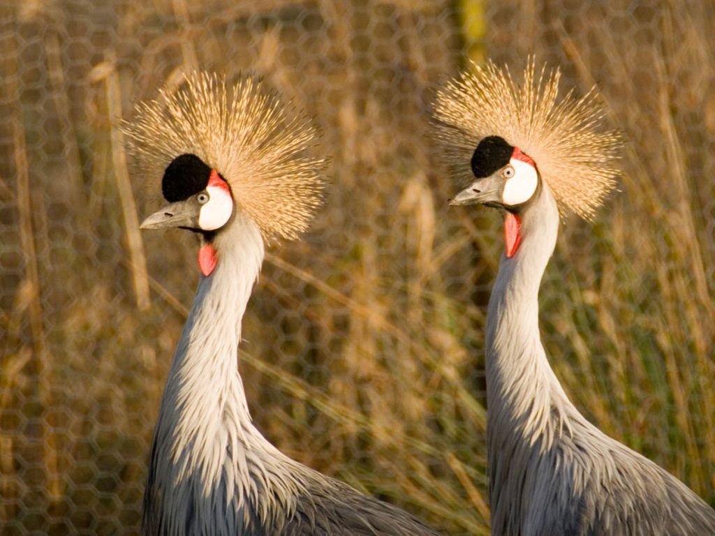 Majestic Great Crested Cranes.