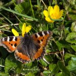 Early Small Tortoiseshell butterfly.