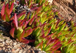 Succulent ground cover plants.