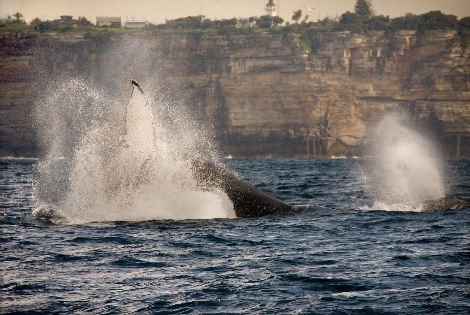 Australia whale watching