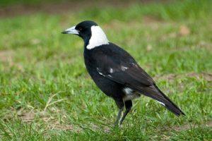 Bold: The Australian Magpie
