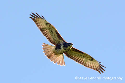bird of prey, Lake District